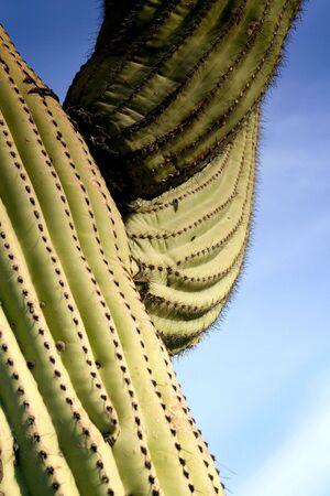 An interesting perspective of a saguaro cactus giving the impression of strength