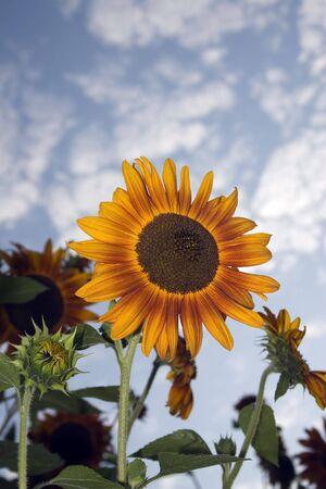 A bright sunflower against a dynamic sky