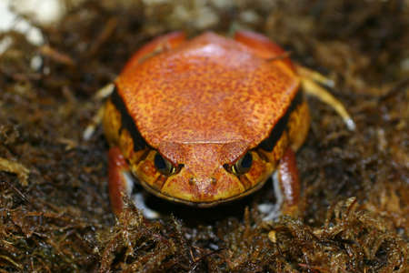 A Tomato Frog appears to be smiling
