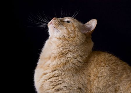 A portrait of a yellow tabby looking up