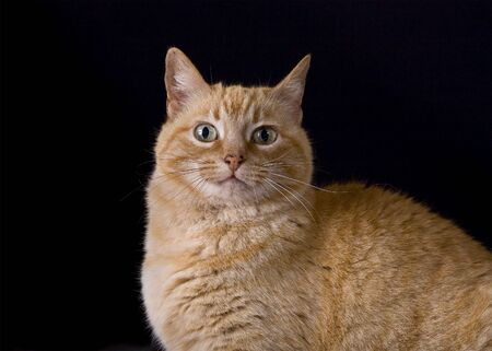 A portrait of a yellow tabby cat