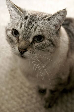 A gray tabby with blue eyes looking up Stock fotó