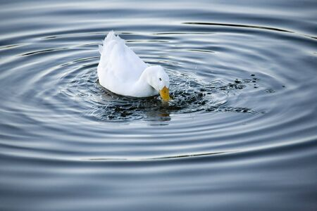 A duck splashes for food