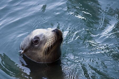 A California Sea Lion pops up for air