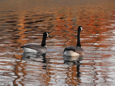 canadian geese: Canadian geese swimming in lake.