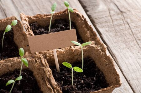 sprouting: Sprouting tomato seedlings with cardboard and copyspace