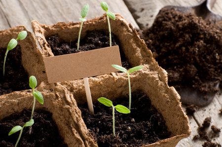 guerilla: Sprouting tomato seedlings with cardboard Stock Photo
