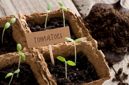 guerilla: Sprouting tomato seedlings with lettering tomatoes