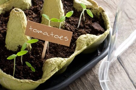 invernadero: Tomato seedlings in mini-greenhouse with lettering