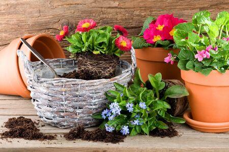 potting: Potting beautiful flowers in springtime