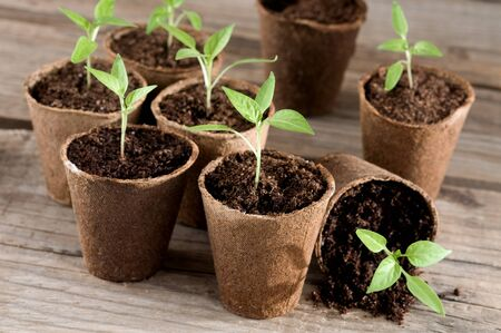 guerilla: Pepper seedlings in peat pots on wood Stock Photo