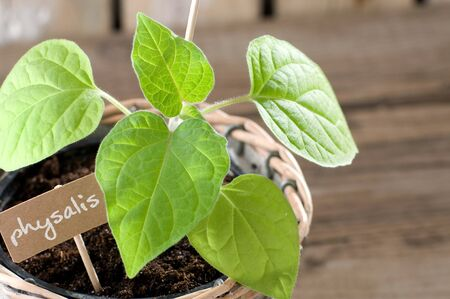 guerilla: Physalis seedling with cardboard and copyspace