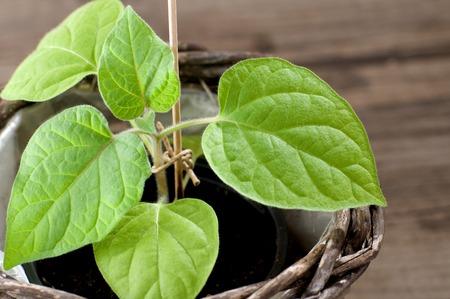 guerilla: Young Cape Gooseberry plant grows in a pot