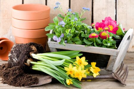 potting: Potting daffodils, forget-me-not or primroses in springtime Stock Photo