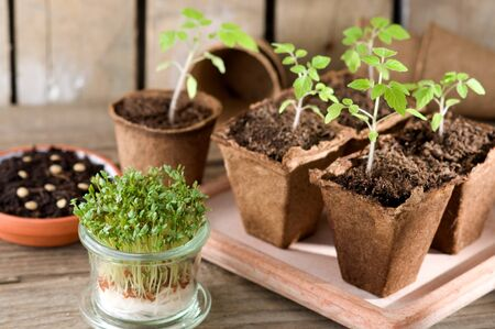guerilla: Sprouting tomato seedlings and garden cress on the windowsill Stock Photo