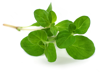 Close-up marjoram isolated