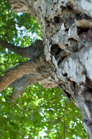 Walnut tree in the worms-eye view