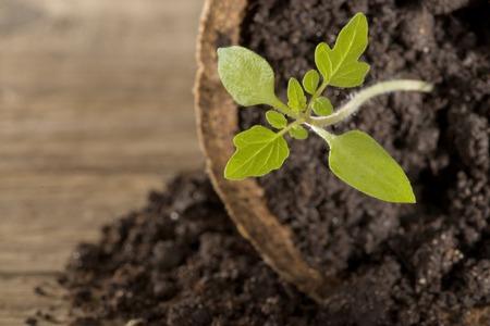 guerilla: Tomato seedling in peat pot Stock Photo