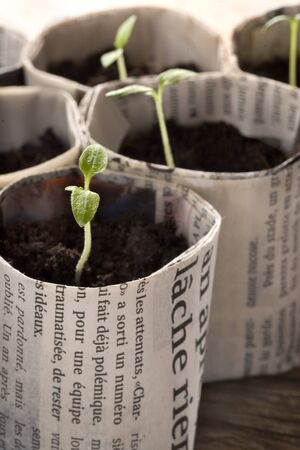 guerilla: Cultivate tomato seedlings in paper pots