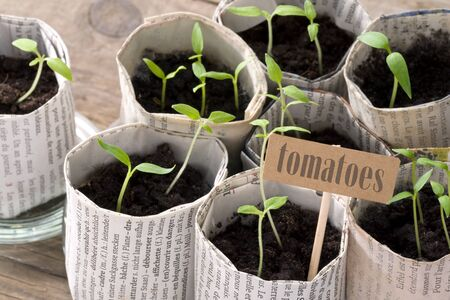 Young tomato plants with cardboard sign and lettering