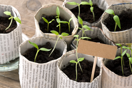 guerilla: Young tomato plants with cardboard sign and copy space