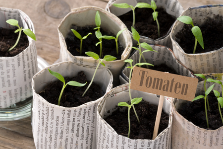 guerilla: Young tomato plants with lettering (German for tomatoes) Stock Photo