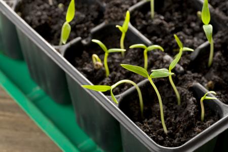 guerilla: Sprouting pepper seedlings in propagator trays