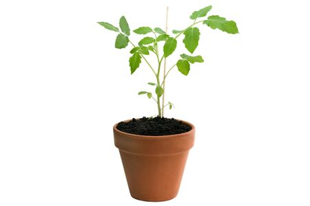 Tomato plant in pot isolated on white background