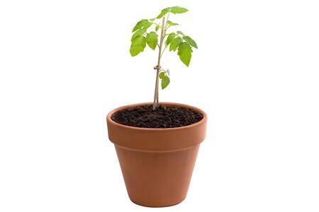 Tomato plant isolated against white background