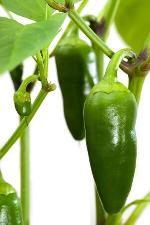 Growing bell peppers isolated