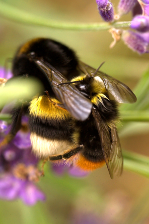 Bumble bees mating Stock Photo