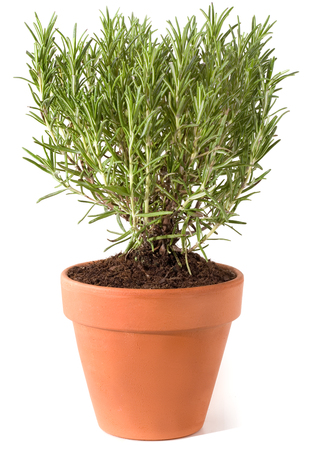 Fresh rosemary plant in flowerpot isolated against white