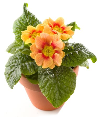Primrose in flowerpot isolated against white