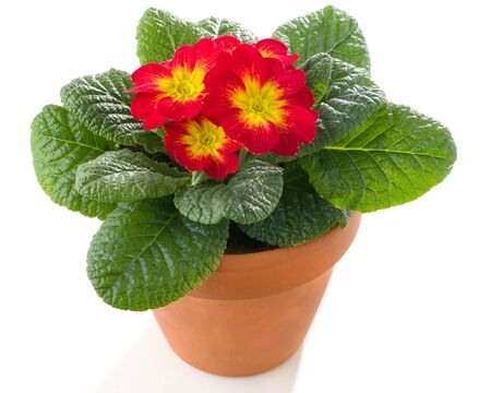 Red primrose in pot isolated against white