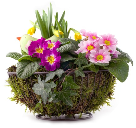 Flower pot with primroses, daffodils and moss isolated on white background