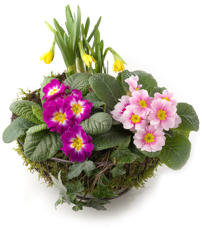 Springtime decoration - flower bowl with primroses and daffodils isolated