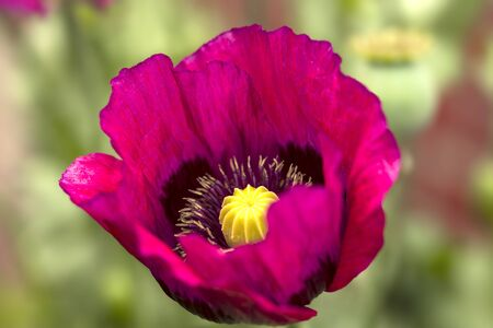 Close-up of a poppy blossom Stok Fotoğraf - 133960748