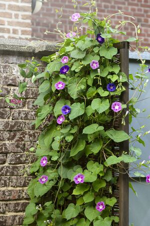 Morning glory with many blooms in the garden Stok Fotoğraf - 133960754