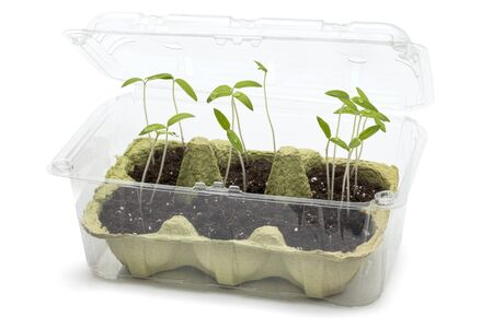Upcycling - using packaging materials as greenhouse for tomato seedlings Stok Fotoğraf