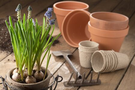 Gardening in spring - early bloomers, plant pots and potting soil on wood