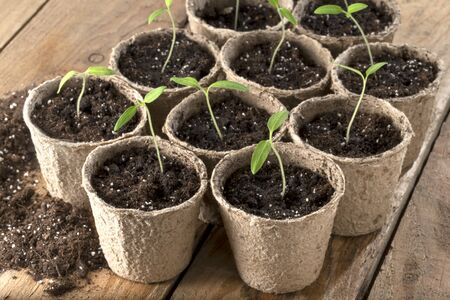 Tomato seedlings in paper pots on wooden table