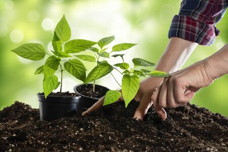 Female hands planting young bell pepper plants in springtime Stok Fotoğraf