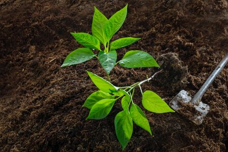 Planting bell pepper plants in spring - young plants and gardening tool