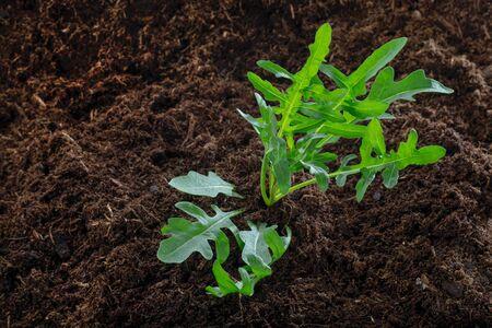 Rocket salad - arugula - in the garden - close-up 免版税图像