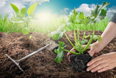 Gardening - female hands planting zucchini in vegetable garden