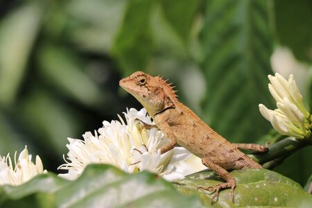 Lizard spotted sitting on a coffee plant branch looking for prey Imagens