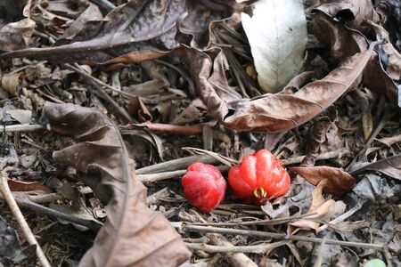 Red berry which is fallen on dry leaves