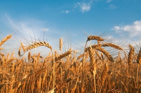 wheat field: Weat