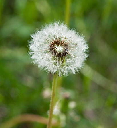 Dandelion Stock Photo - 9988010