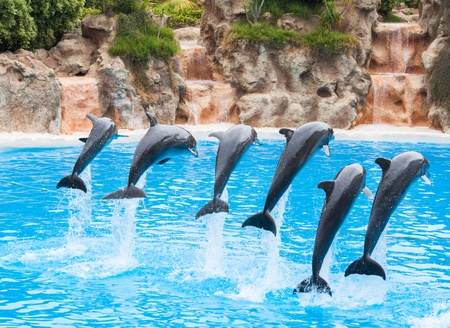 dolphin jumping: Dolphins show  Canarian isles, Tenerife